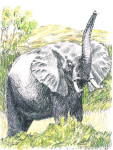 African Elephant 1990 J.kohr Handcolored/signed Blank Notecard