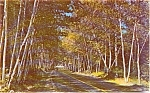 Birch Lined Highway Scene Postcard