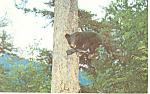 Black Bear Cub In A Tree Postcard 1962
