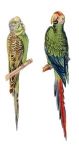 Victorian Era Budgie And Parrot