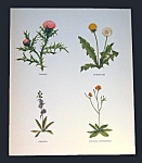 Vintage Wildflower Prints By Walter Ferguson