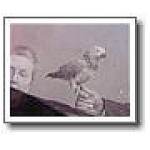 Antique Parrot Pet Photograph Gold Frame 1908
