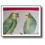 Blue Front Amazon Parrot Antique Rare Edwardian Post Card 1912
