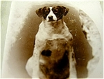 Jack Russell Terrier Dog Victorian Cabinet Photograph 1890c