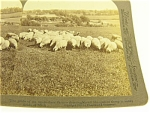 Underwood Shropshire Sheep Stereoview 1903