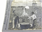 Harvesting Indian River Pineapples Florida Keystone Stereoview 1904
