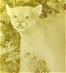Mountain Lion Barnard Vermont 1881 Photo
