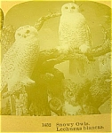 Antique Owl Snowy Owl Stereoview