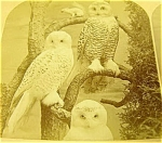 Snowy Owl Stereoview James A. Hurst 1870