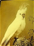 Cockatoo Victorian Photograph Henry King