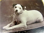 Dog Jack Russell Terrier Victorian Photo