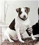 Dog Jack Russell Terrier Victorian Photo 1893