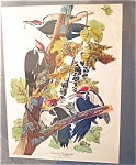 Vintage Prints: Large Audubon Birds: Woodpecker