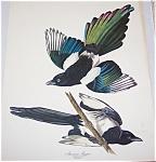 Vintage Audubon Prints: Birds : Nature American Magpie