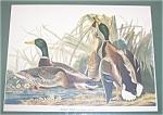 Vintage Audubon Prints: Nature: Mallard Duck