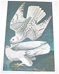 Vintage Audubon Prints: Birds : Nature: Island Falcon