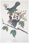 Vintage Audubon Prints: Birds & Nature: Cat Bird