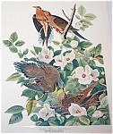 Vintage Audubon Prints: Birds & Nature: Turtle Doves