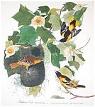 Vintage Audubon Prints: Birds & Nature: Baltimore Oriole