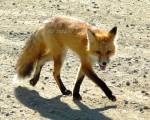 Original Photo Red Fox In Carmacks Yukon Territory , Signed