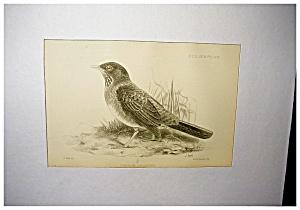 Audubon Lithograph (Image1)