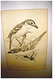 J Smit Audubon Print (Image1)