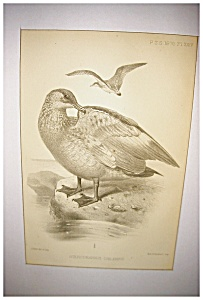 J Smit Audubon Lithograph (Image1)