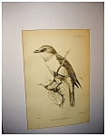 Click here to enlarge image and see more about item 2011: J. Smit Audubon Lithograph
