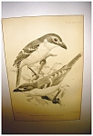 Click here to enlarge image and see more about item 2064: J Smit Audubon Print
