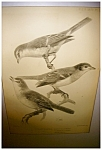 Click here to enlarge image and see more about item 2065: J. Smit Audubon Print