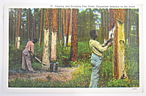 Dipping And Scraping Pine Trees Postcard