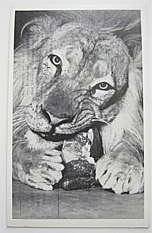 African Lion At Lincoln Park Zoo Postcard (Image1)