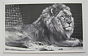African Lion Dillinger Laying Down Postcard (Image1)