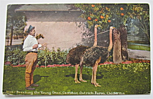 Breaking The Young Ones, Ostrich Farm, CA Postcard (Image1)