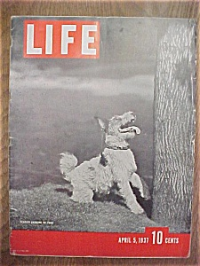 Life Magazine-april 5, 1937-terrier Barking Up Tree