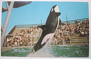 Killer Whale, Sea World, San Diego, California Postcard (Image1)