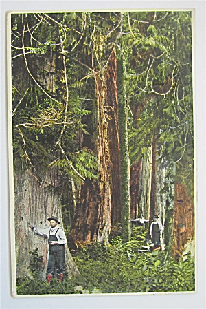 Red Cedar Forests Of British Columbia Postcard (Image1)