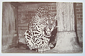 A Jaguar Hissing With Mouth Open Postcard  (Image1)