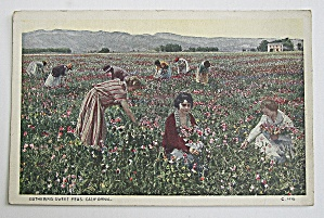 Gathering Sweet Peas In California Postcard  (Image1)