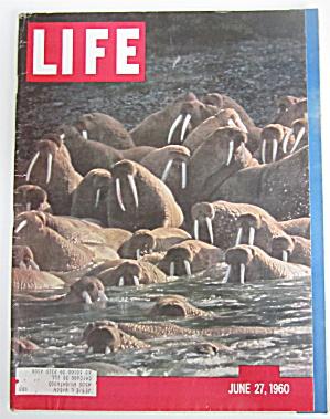 Life Magazine-June 27, 1960-Walrus Herd In Bering Sea (Image1)