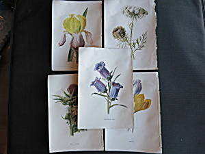 Antique Botanical Prints Floral lot of 5 four matching (Image1)
