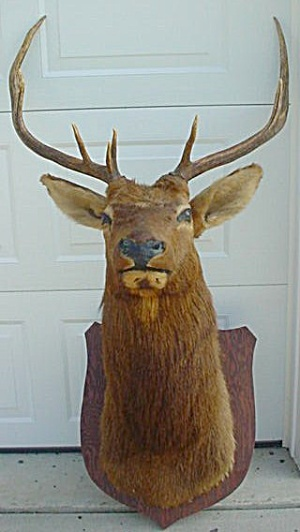 Huge Taxidermy Mule Deer Elk?? (Image1)