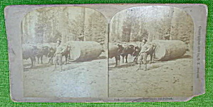 1800's Stereoview Logging in No. California (Image1)