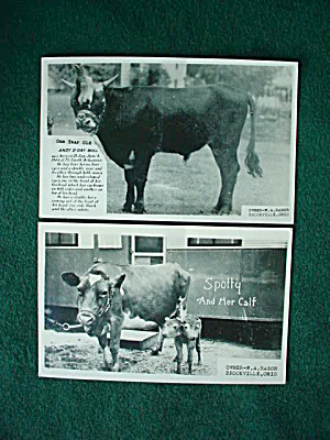Unusual Old Cow Bull Postcards Brookville, Oh