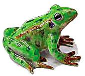 R130Ar Leopard Frog (Image1)