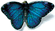 Northern Rose Super Mini Morpho Butterfly M006