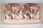 Click here to enlarge image and see more about item m00082: 1902 St Bernard Dog Keystone Stereoview