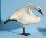 Click here to enlarge image and see more about item n00207: R072 Stretching Trumpeter Swan