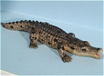 Click here to enlarge image and see more about item n00429: K3902 Miniature Crocodile 3.6 inch
