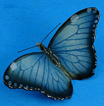 Click to view larger image of M002Ar Blue Morpho Butterfly Magnet (Image1)